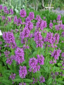 Bees love the flowers of Hummelo Stachys