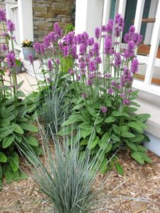 Does Stachys 'Hummelo' work in the landscape?