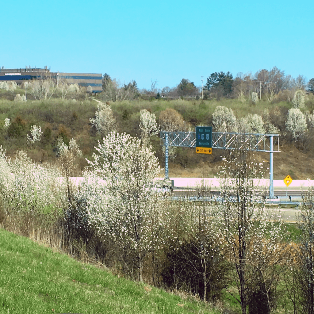Wild callery pear in bloom at the intersection of 64/40 and 141 in West St. Louis County.