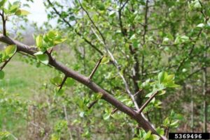 Thorns on wild Callery Pear
