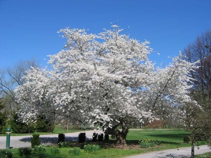 White flowers cover a Yoshino Cherry with a bright blue sky background.
