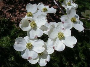 Plant dogwood instead of pear.