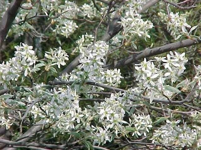 Star-shaped flowers cover brown branches on Autumn Brilliance Serviceberry