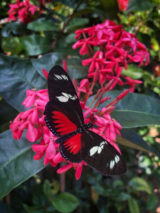 red, white, and black butterfly on pink tropical flower