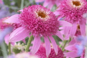 double flowering pink coneflower