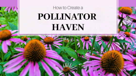Mass of purple coneflower.  How to Create a Pollinator Haven.