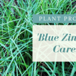 plant profile blue zinger carex sedge