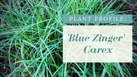 Silvery-blue foliage of Blue Zinger Sedge.  Plant Profile:  Blue Zinger Carex.