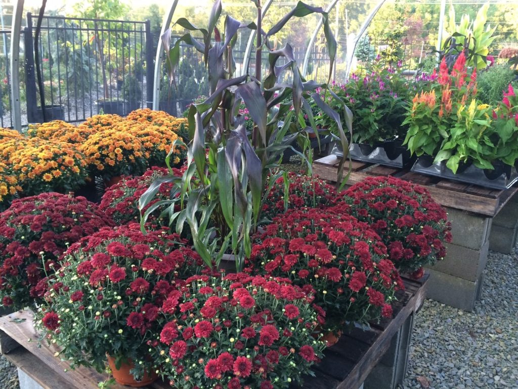 Red MIllet surrounded by red flowering mums on garden center table.