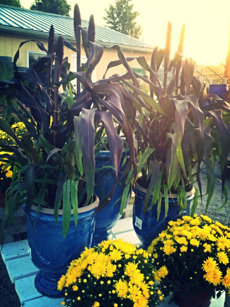 Burgundy foliage of Red Millet in blue glazed urns with yellow mums.