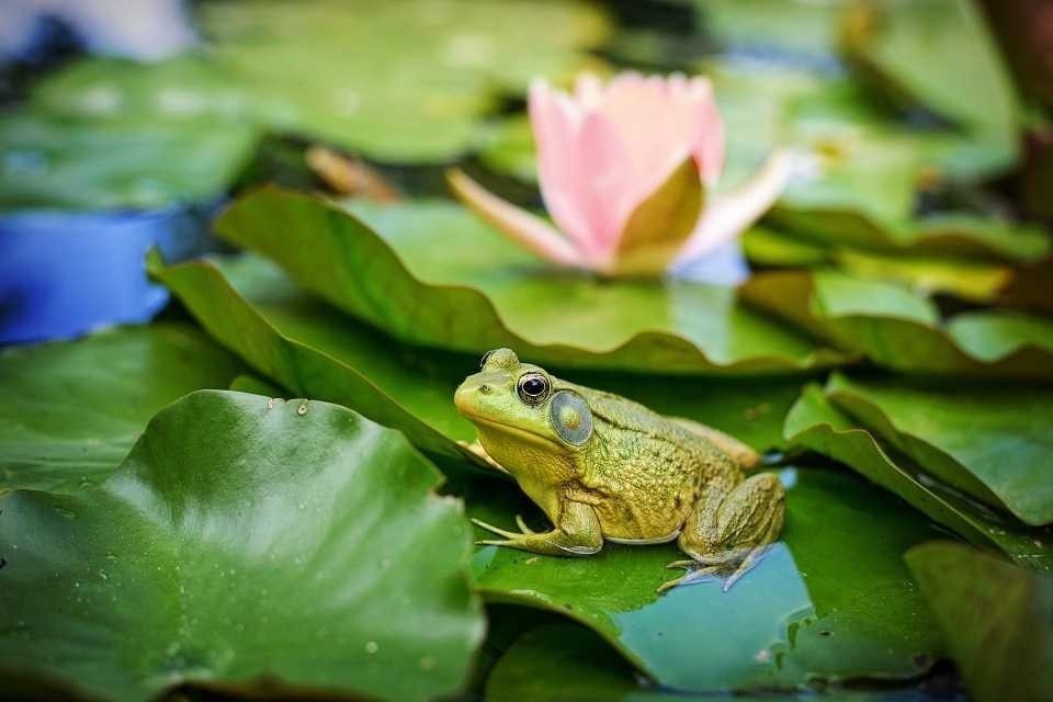 Frog on green lily pad with pink flower.