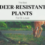 The best deer-resistant plants for St. Louis