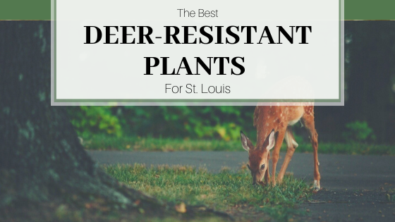Fawn with spots eating grass in yard.  The Best Deer-Resistant Plants for St. Louis.