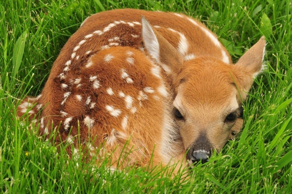 Deer fawn with spots, curled up on lawn.