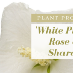 White Pillar Rose of Sharon