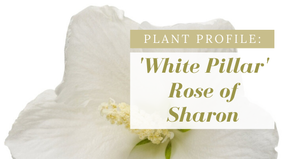 Single white Rose of Sharon flower.  Plant Profile:  'White Pillar' Rose of Sharon