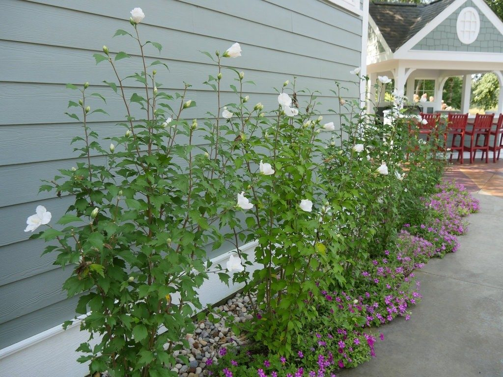 Columnar White Pillar Rose of Sharon planted in narrow area along home
