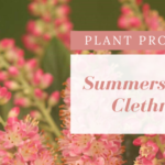 Pink flower clusters against green background. Plant Profile: Summersweet Clethra