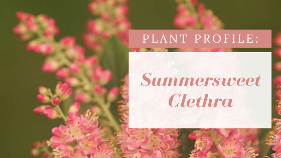 Plant Profile: Summersweet Clethra