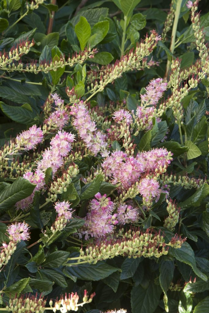 Pink, spiky flowrs on a mid-sized shrub with glossy, green foliage.