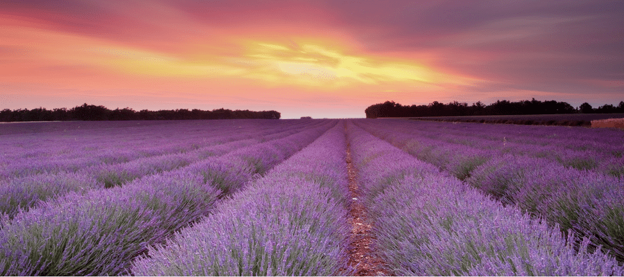 Rows of purple lavender at sunset.