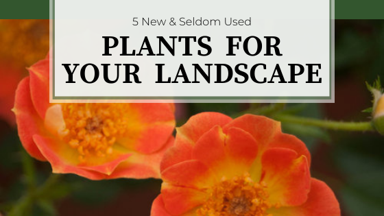 Orange rose flowers with golden centers. 5 New & Seldom Used Plants For Your Landscape.