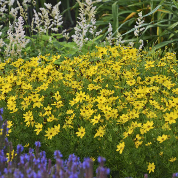 Golden yellow flowers on threadleaf foliage with white flowers in back and purple flowers in front.