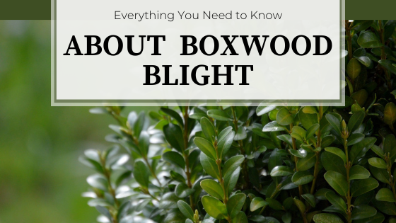 Small, glossy green foliage. Everything You Need to Know About Boxwood Blight.