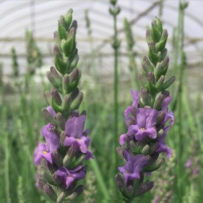 Purple flowers of Sensational lavender with green foliage background.