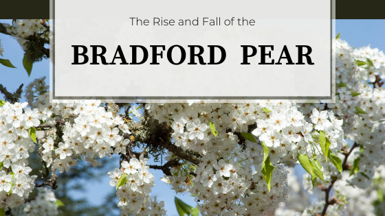 White flowers with yellow centers.  The Rise and Fall of the Bradford Pear.