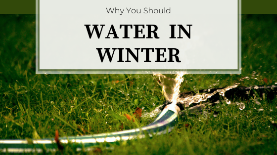 Water hose with sprinkler running on the green grass. Why You Should Water in Winter.