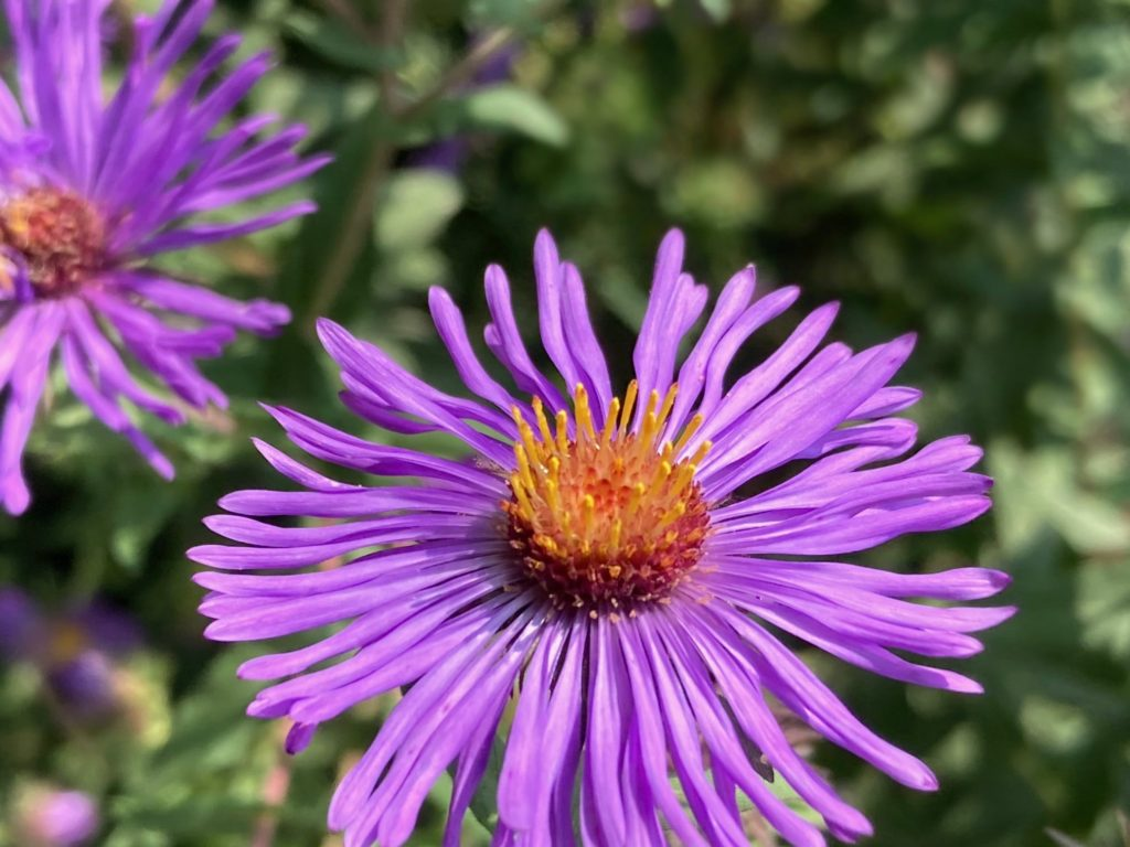 Delicate petals of lavender-purple flowered New England Aster.