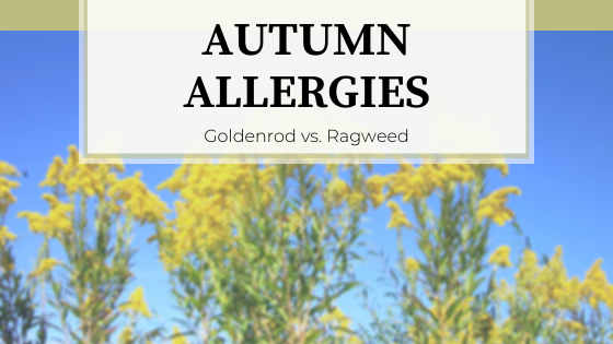 Yellow flowers of Goldenrod against blue sky. Autumn Allergies: Goldenrod vs. Ragweed