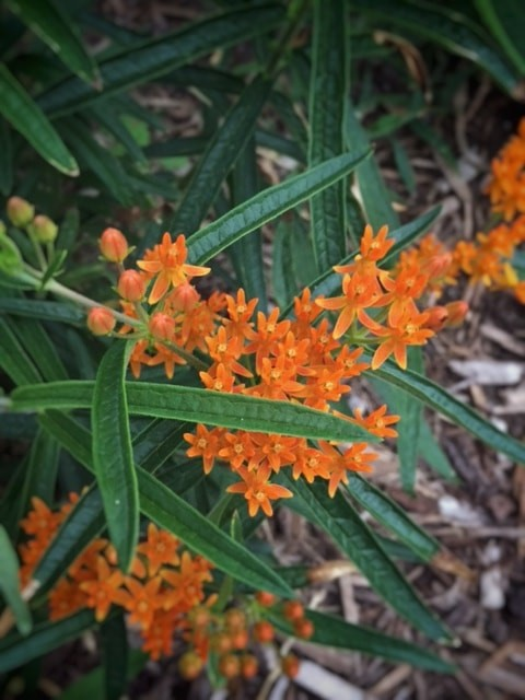 Small orange blooms with golden centers on long stems with narrow green foliage.