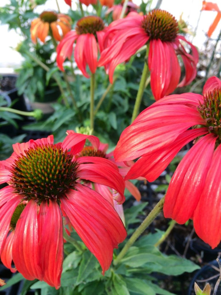 Red blooms with green centers on tall stems with dark green foliage.