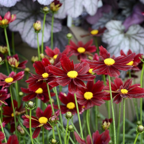 Deep red flowers with golden-yellow centers on green stems.