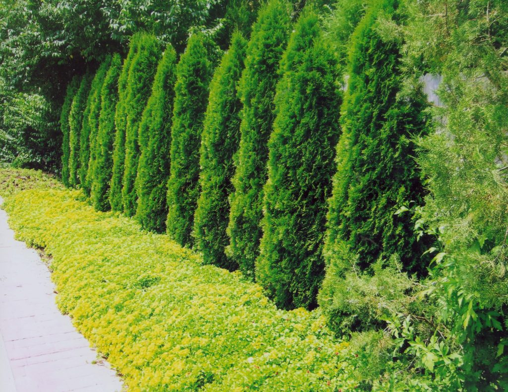 Tall, narrow evergreen trees line a fence with yellow flowering groundcover planted in front.