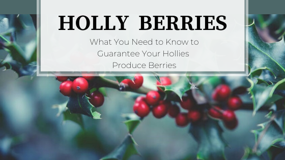Evergreen holly with blue-green background and red berries.  Holly Berries:  How to Guarantee Berries on Your Holly