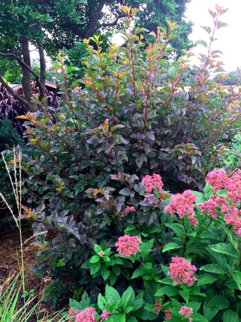 Burgundy-red foliage ninebark is used as a backdrop to the pink flowers and large, green foliage of joy-pye weed.