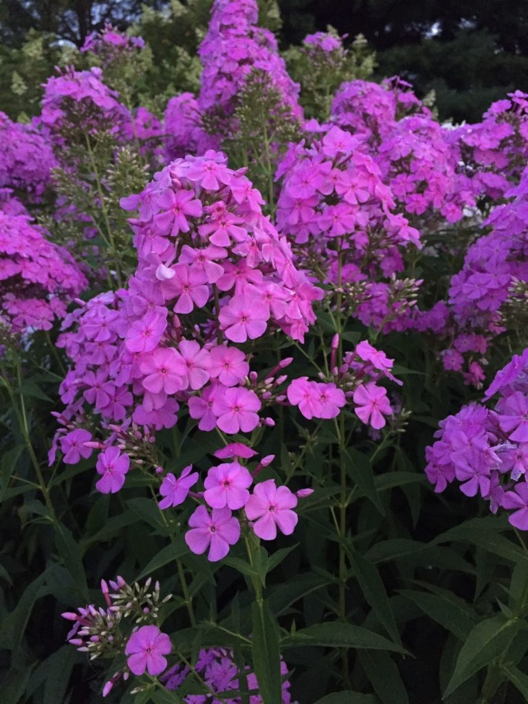 Lavender-pink bloom clusters above dark green, narrow foliage.