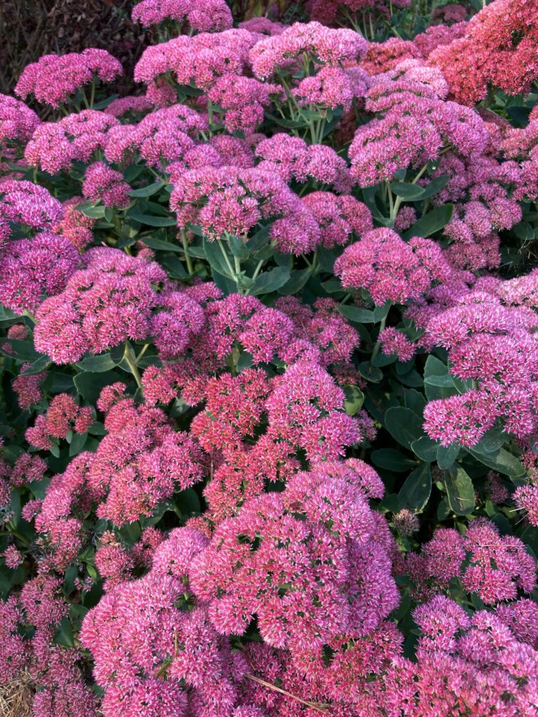 Rosy-pink flowers of fall-blooming perennial, Autumn Joy Sedum.