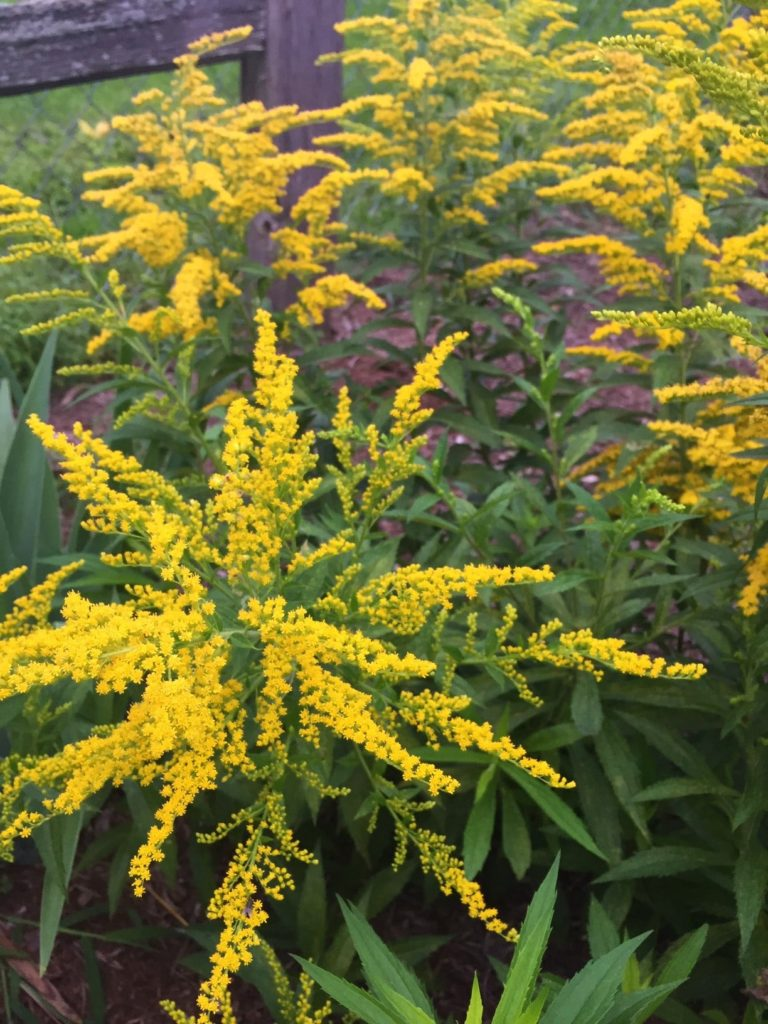 Golden-yellow flowers of fall-blooming perennial, Little Lemon Goldenrod.