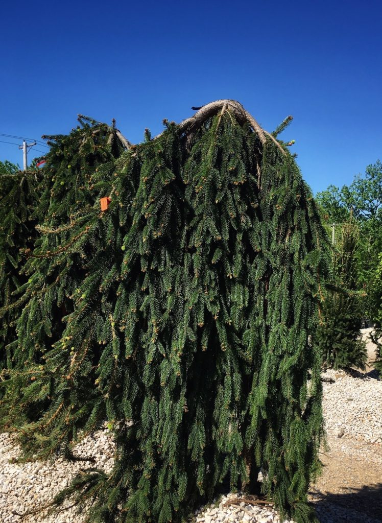 Large weeping evergreen heeled in gravel at nursery with deep blue sky.
