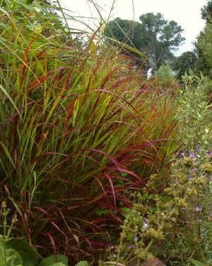 Burgundy tinted Shenandoah Switchgrass.