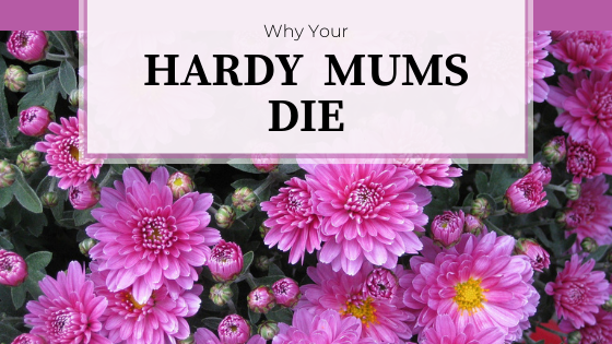Pink mum flowers with yellow centers.  Why Your Hardy Mums Die.